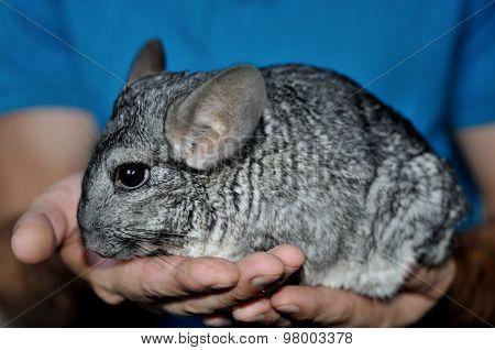 Gray chinchilla on the hands profile