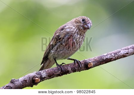 Summer Female House Finch