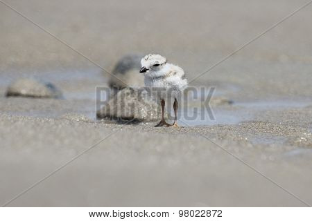 Tiny Piping Plover Chick