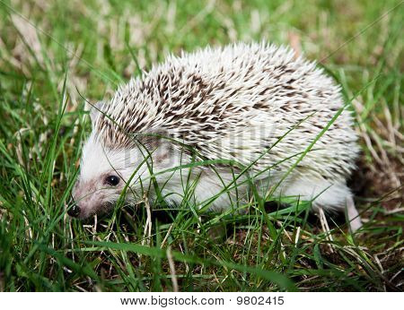 Hedgehog Walking On A Grass