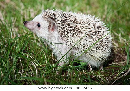 Hedgehod Holding Muzzle Up
