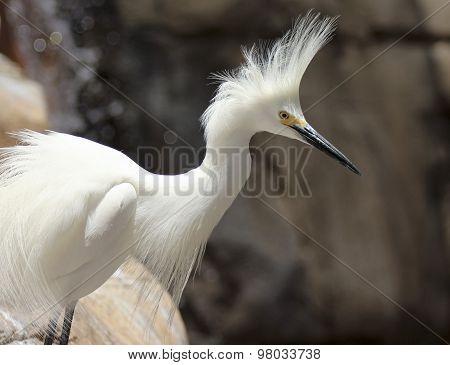 A Portrait Of A Snowy Egret, Egretta Thula