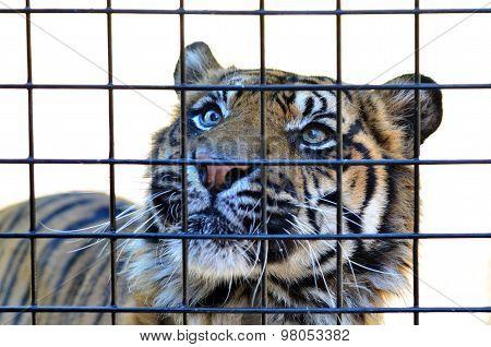 Sumatran Tiger look through a cage bars.