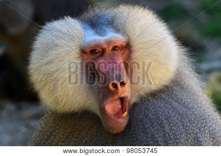 Close up of a Hamadryas baboon face