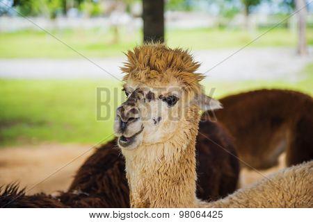 Funny Alpaca living in the farm ,Thailand.