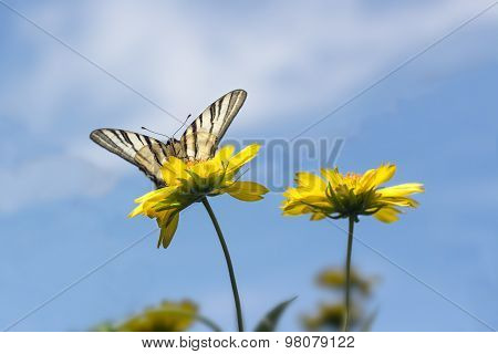 beautiful butterfly on yellow flowers against the blue sky