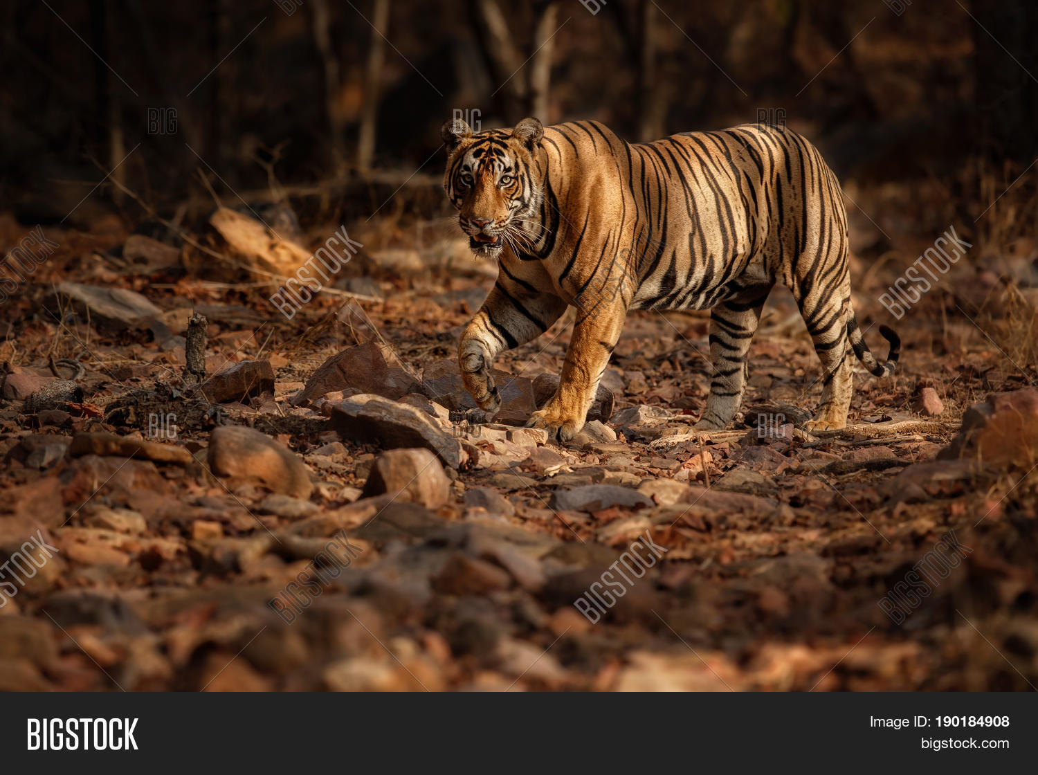 composition on tiger