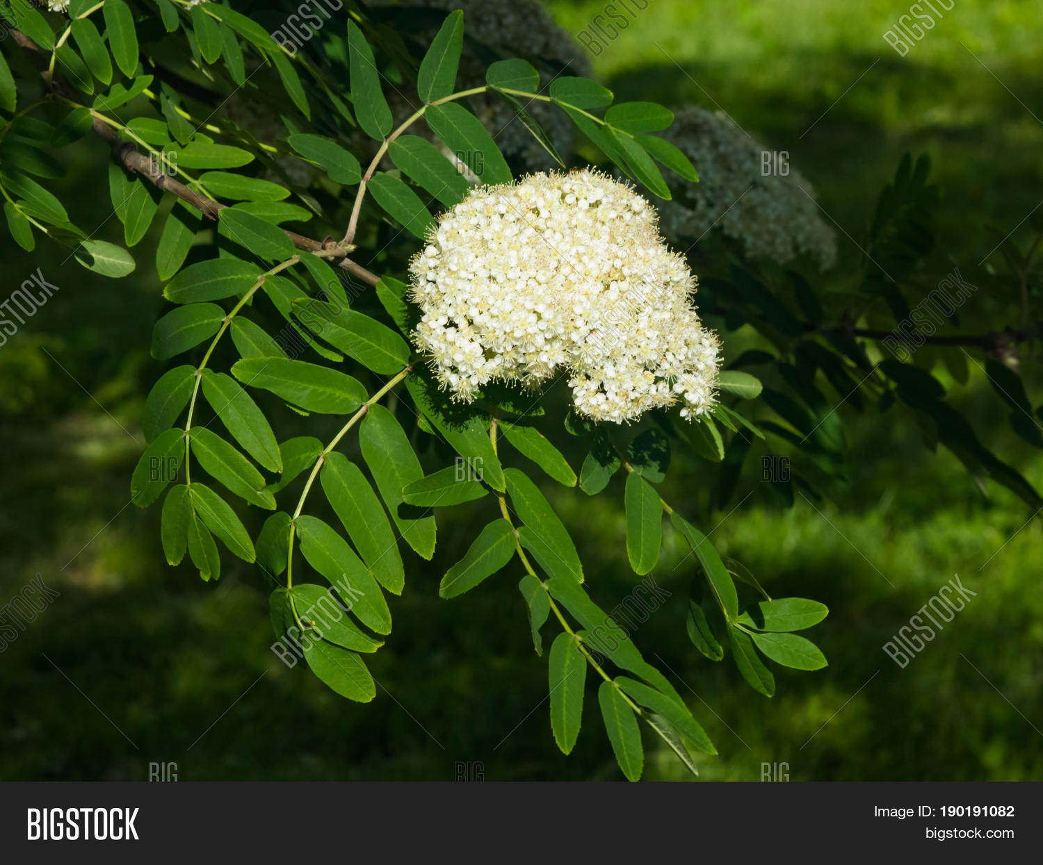 White flowers leaves image photo free trial bigstock white flowers and leaves of blossoming rowan tree sorbus aucuparia close up selective focus shallow mightylinksfo