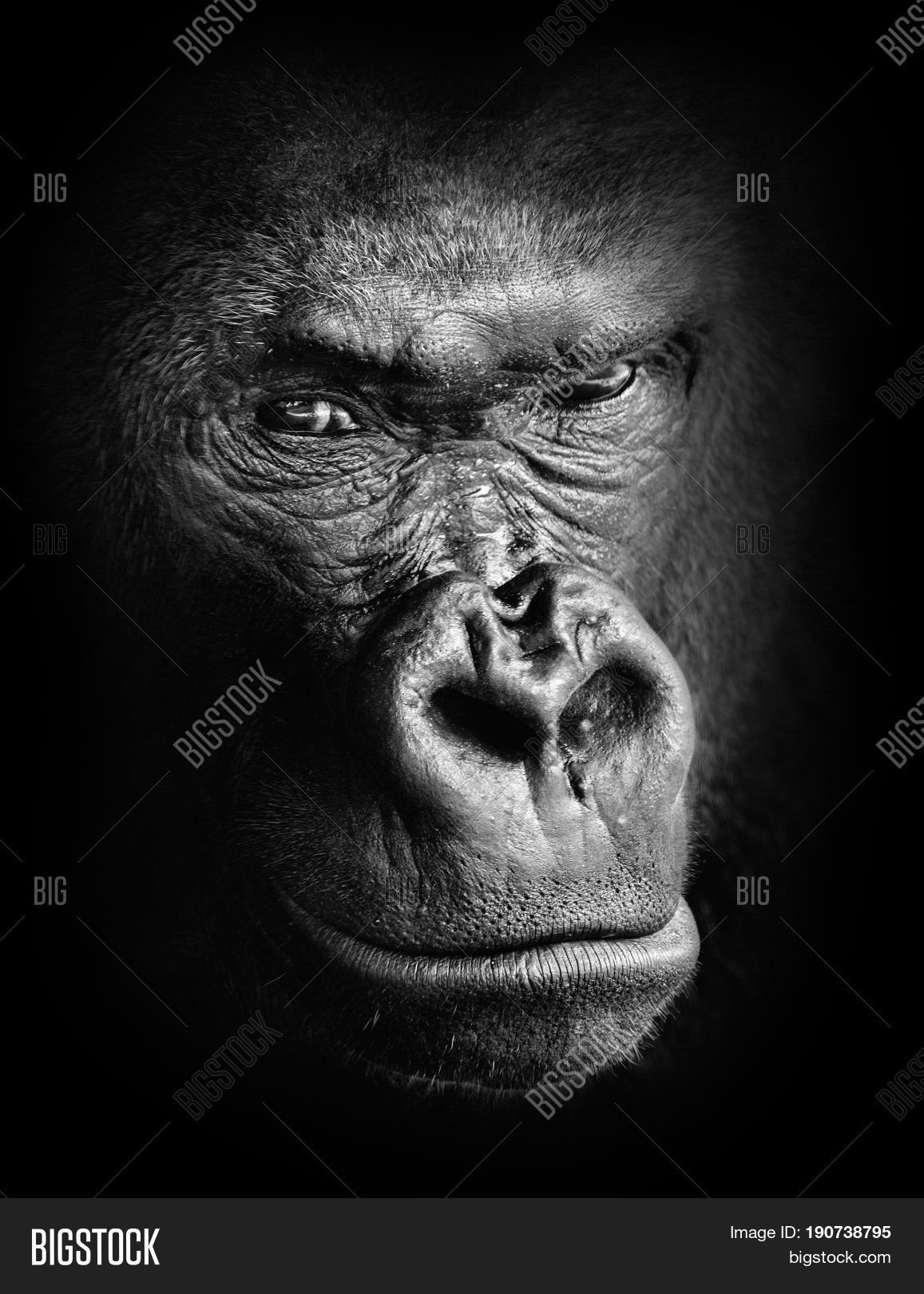 Black and white high contrast animal portrait of a pensive gorilla face isolated in shadows