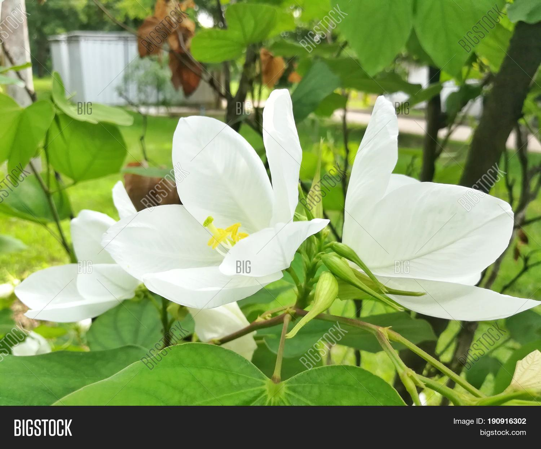 White Flower, Dwarf Image & Photo (Free Trial) | Bigstock