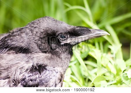 Raven Head Is Close In The Grass