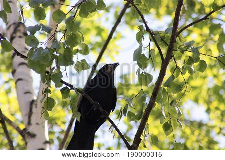 The Raven Is Silhouetted On A Tree With Foliage