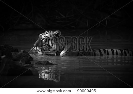 Bengal Tiger With Catchlight In Water Mono