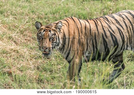 Close-up Of Bengal Tiger Walking In Meadow