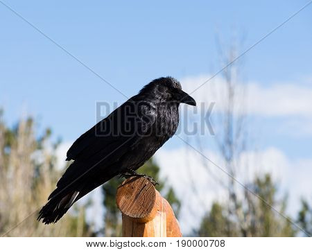 Close up of a raven perched on a fence with black feathers shining in the sunlight. Photographed with shallow depth of field from below.