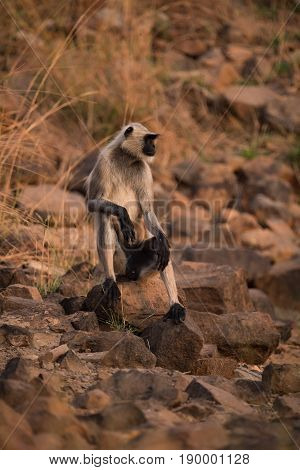 Hanuman Langur Resting With Arms On Knees