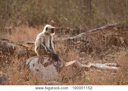 Hanuman Langur Sitting On Rock In Sunshine