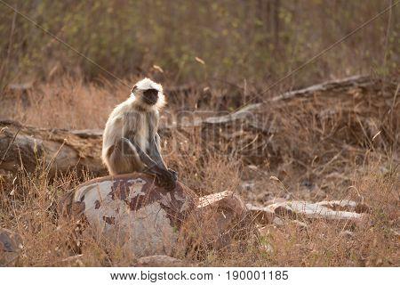 Hanuman Langur Sitting On Rocks In Sunshine