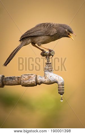 Jungle Babbler On Dripping Tap Looking Down
