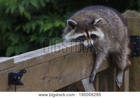 Young raccoon draped over deck railing, resting on a very warm day.