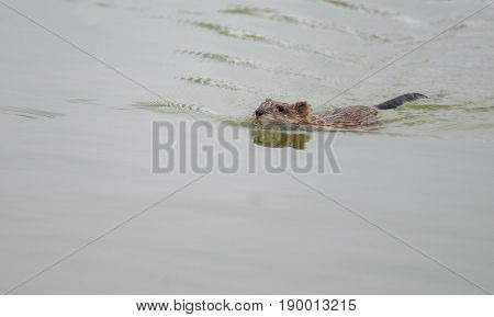 Beaver rat in water in summer time