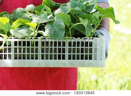 Farmer holds a box of fresh green cucumber seedlings plants .
