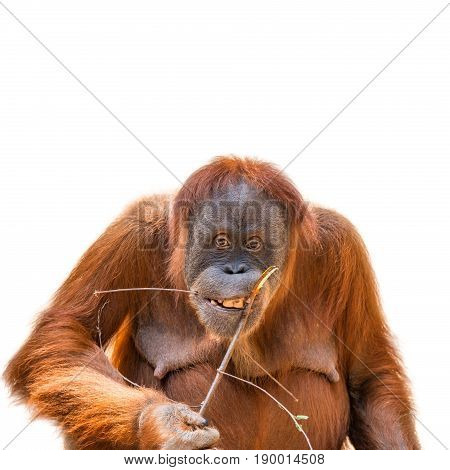 Eating Asian Orangutan Isolated At White Background