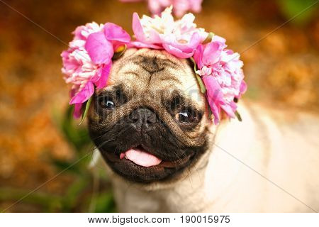A happy pug puppy dog in the colors of peonies. Pug at a party at a picnic