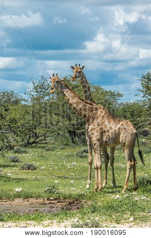 Giraffes in Etosha national park Namibia South Africa