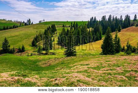 Conifer Forest In Summer Landscape
