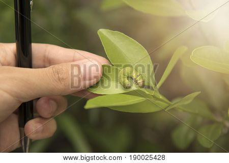 Biotechnology scientist with pen in hand and orange leaf for examining plant insects.