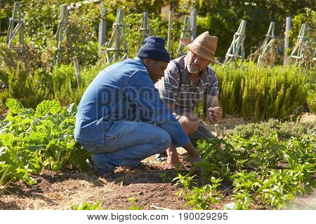 Two Men Working Together On Community Allotment
