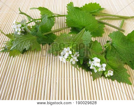 Fresh garlic mustard with leaves and flowers