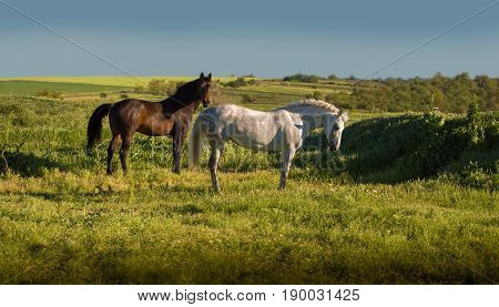Dapple-grey and bay horses stay on green field on the blue sky background