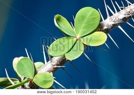 Spiky Succulent