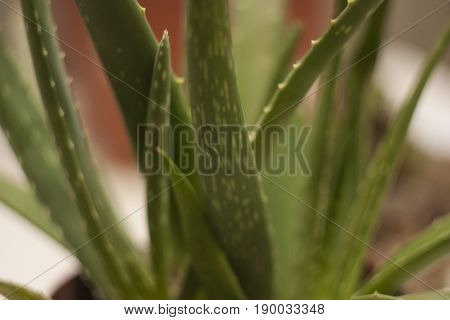 Detail of a leaf of the Aloe plant. An extraordinary plant and a thousand properties.