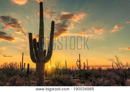Silhouette of Saguaro cactus in Sonoran desert at sunset, Arizona