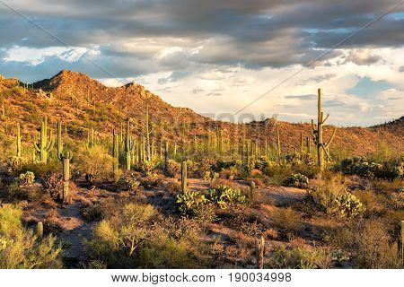 Saguaro cactus in Sonoran desert at sunset, Arizona