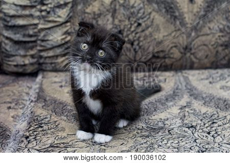 brown bicolor Scottish kitten sitting on the couch the theme of beautiful kittens and cats