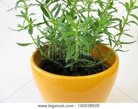 Dwarf hyssop in yellow herb pot, Hyssopus officinalis