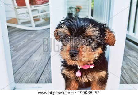 A Yorkshire terrrier puppy standing guard on the front porch.