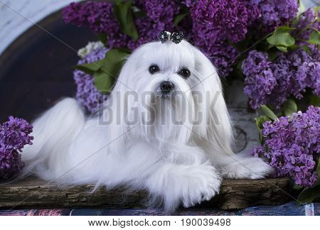 Maltese and flowers lilac