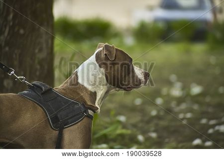 Rottweiler dog in the foreground with the highest level of detail. A young and fascinating exemplar.