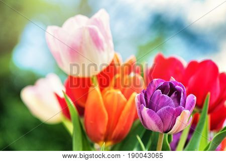 Bouquet of beautiful multicolor tulips. Nature background with copyspace