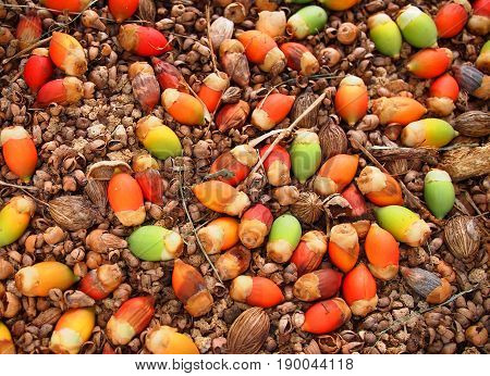 Colorful seeds of a palm tree like plant fallen on soil