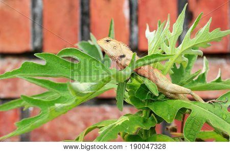 Thai Chameleon on tree in green garden