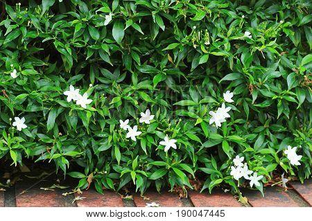 white flower orange jessamine in green garden