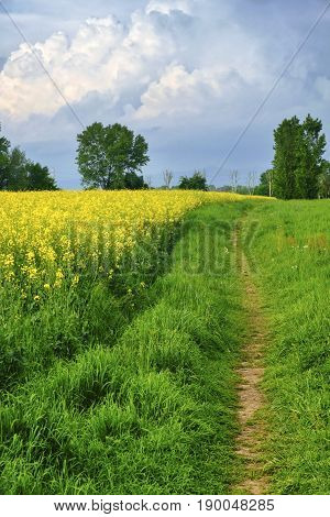 Rural landscape in April between Milan and Monza (Lombardy Italy): field with yellow flowers and path