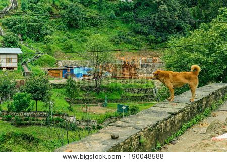 Brown happy stray dog looking at a building in a small Bhutanese village