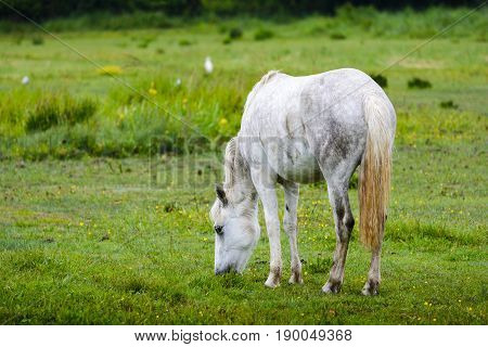 A beautiful white horse of Camargue land